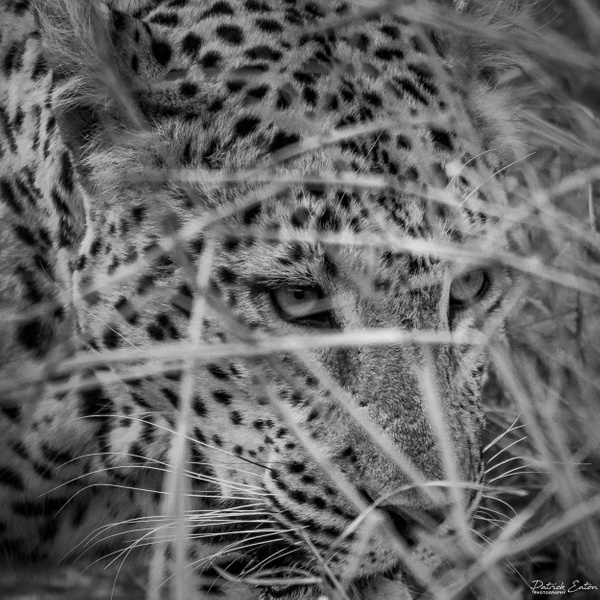 Safari - Leopard 020 - Underwater - Patrick Eaton Photography