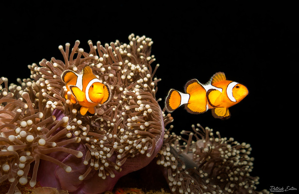 Thailand - Koh Pi Pi - Clown Fish 001 - Underwater - Patrick Eaton Photography