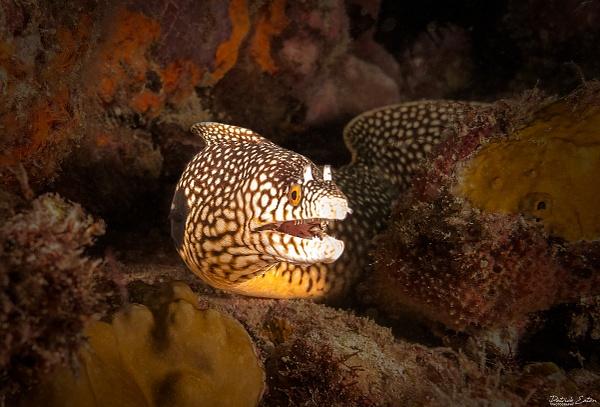 Cabo Verde - Moray Eeel 001 - Underwater - Patrick Eaton Photography