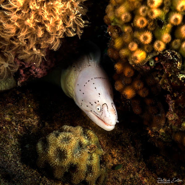 2020 Sharm El-Sheikh - Moray Eel 003 - Underwater - Patrick Eaton Photography