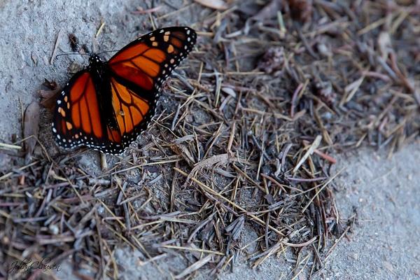 Alexandria, Minnesota - Monarch Butterfly - July 2018 - USA 2018 - Johan Clausen Photography