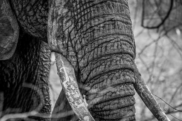 Zambia-Elephant by ReiterPhotography