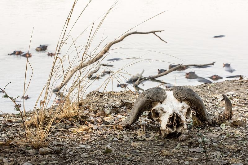 Zambia-Buffalo-Skull