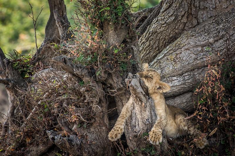 Zambia-Lion-Cub