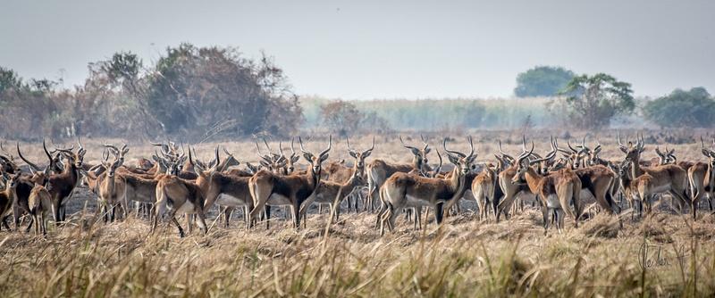 Zambia-Gazelles-Herde