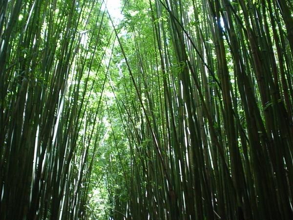 Bambo_Forest by CharlesStevens