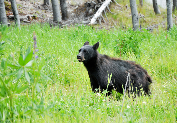 Black Bear, Whistler by soulJAH