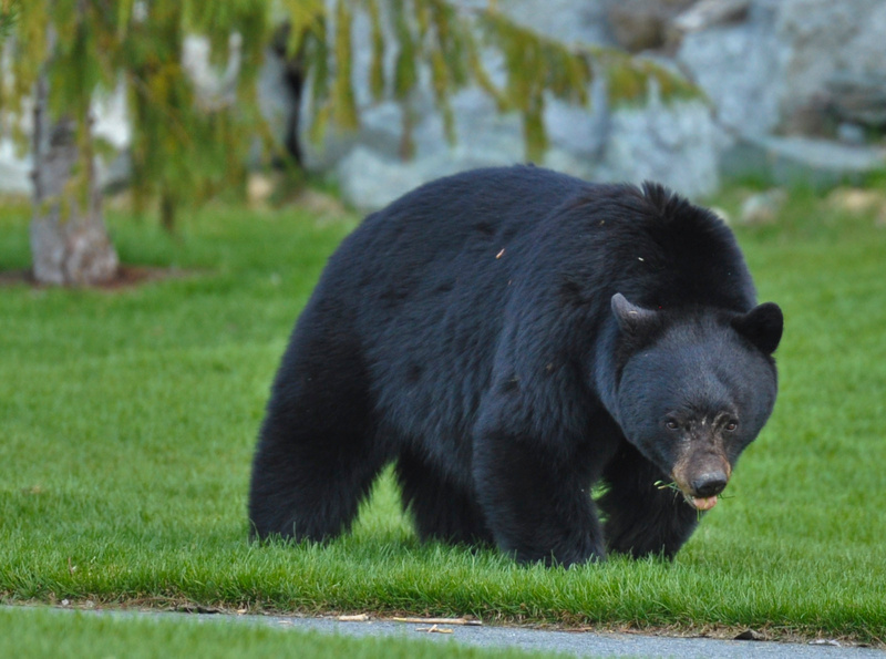 Black Bear, Whistler BC