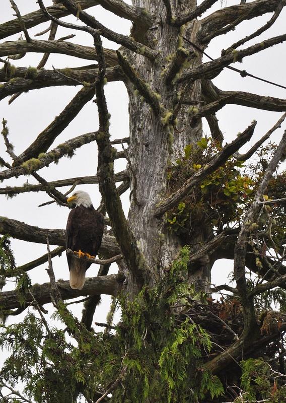 Bold Eagle, Tofino BC