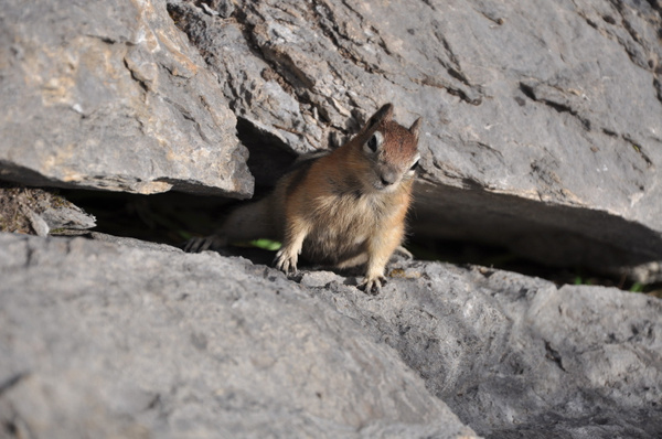 Ground Squirrel (Jasper, NP) by soulJAH