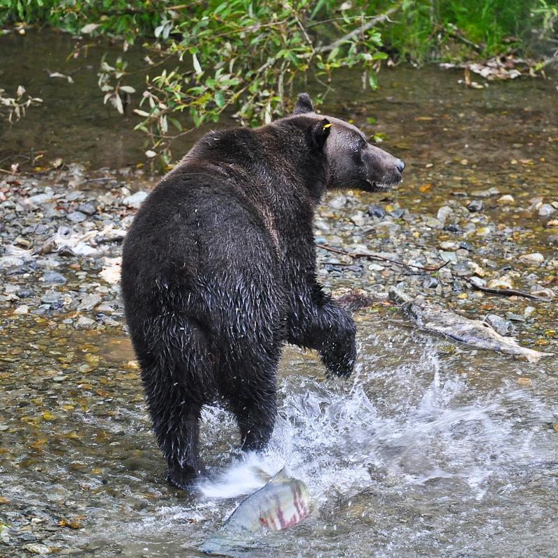 Grizly mumma fishin'