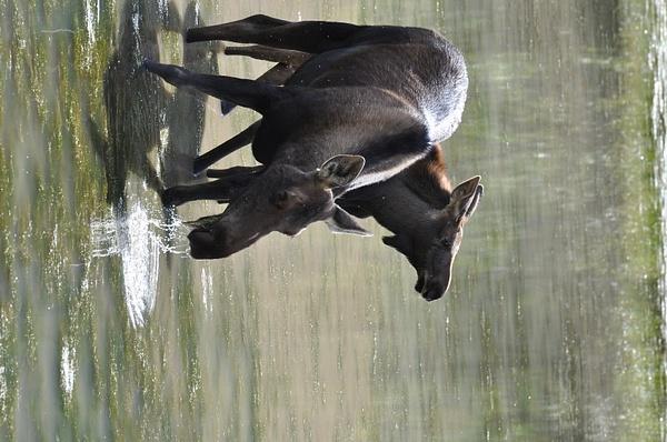 Moose on Alaska highway by soulJAH