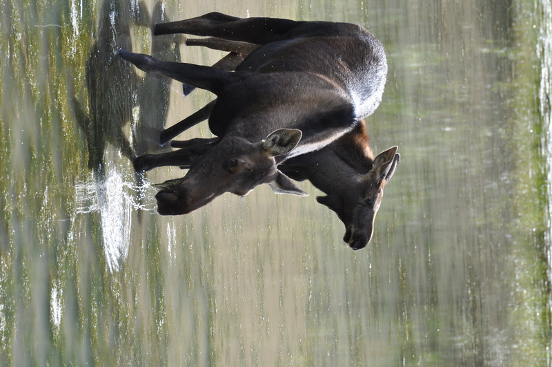 Moose on Alaska highway