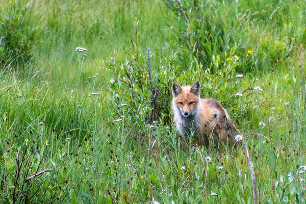 Fox in Echo Lake Park - Colorado - Bill Frische