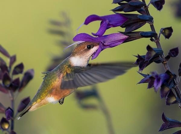 hummingbird11 - Smokies - Bill Frische Photography