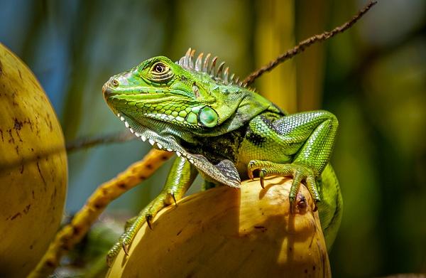 Green Lizard in Key West Florida - Key West, Florida - Bill Frische Photography