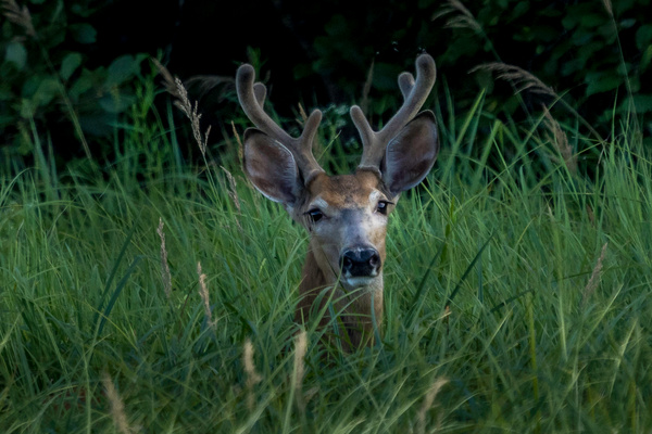 Young Buck - Miscellaneous  - Bill Frische Photography