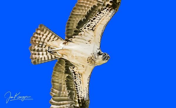 Osprey Staring at you - Wildlife - Jim Krueger Photography