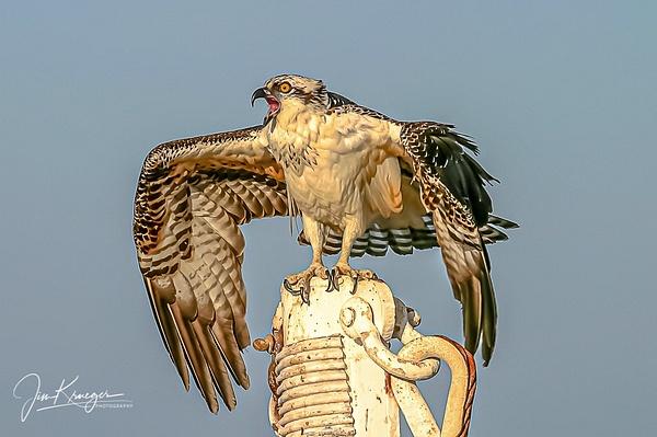 Screamer Osprey - Wildlife - Jim Krueger Photography