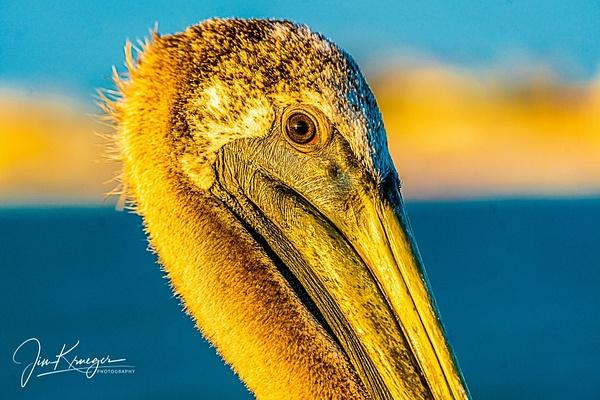 St Peter Pelican close up - Wildlife - Jim Krueger Photography