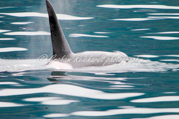 Alaska animals, Orca, or Killer Whale - Alaskan Animals - Graham Reichardt Photography