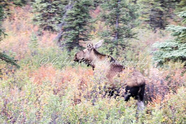 Alaska animals-Moose - Alaskan Animals - Graham Reichardt Photography