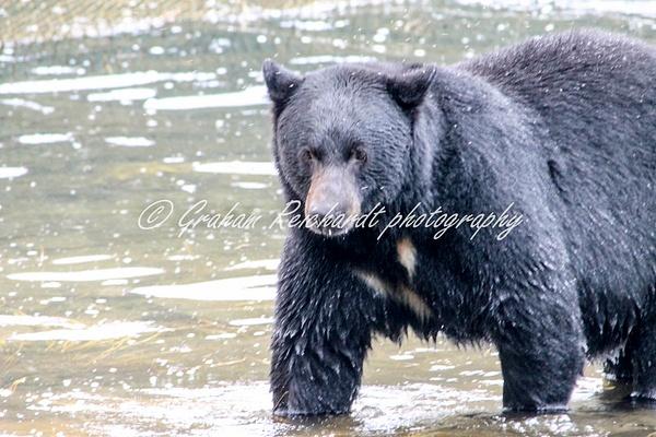 Alaska animals-Black Bear (1) - Alaskan Animals - Graham Reichardt Photography