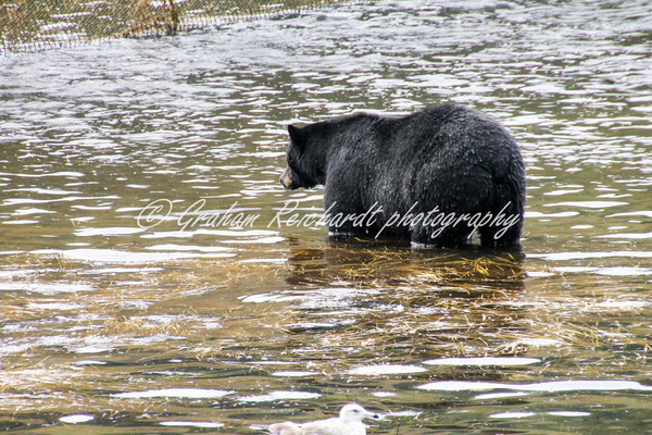 Alaska animals-Black Bear (2) - Alaskan Animals - Graham Reichardt Photography
