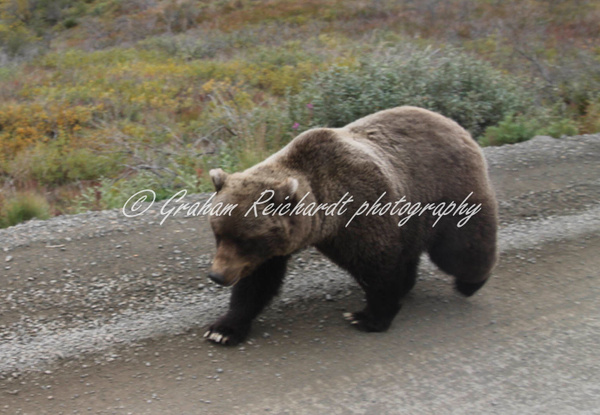 Alaska animals-brown Bear (2) - Alaskan Animals - Graham Reichardt Photography
