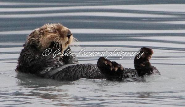 Alaska animals-Otter - Alaskan Animals - Graham Reichardt Photography
