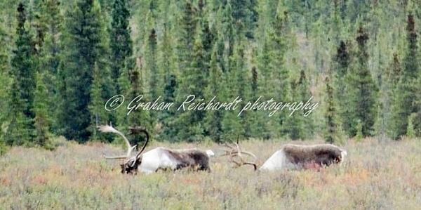 Alaska animalsCaribou (2) - Alaskan Animals - Graham Reichardt Photography