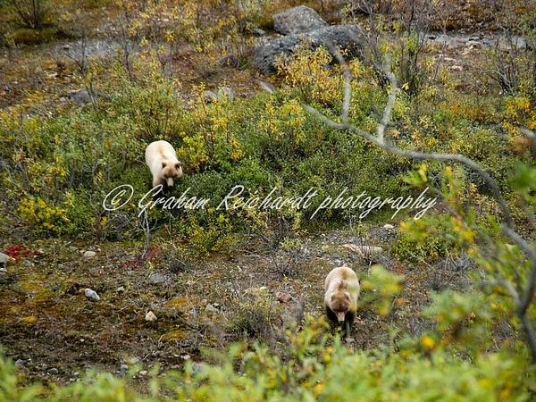 Alaska animals-2 brown Bear (1) - Alaskan Animals - Graham Reichardt Photography