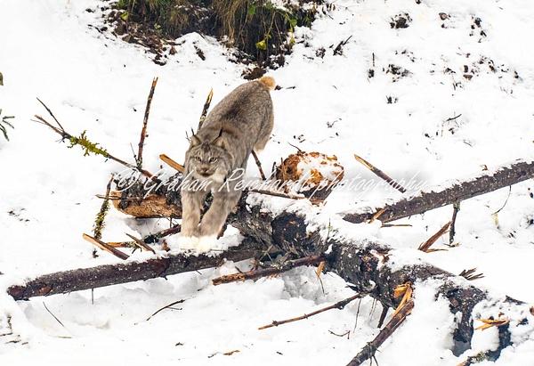 Alaskan animals-Lynx (2) - Alaskan Animals - Graham Reichardt Photography