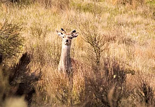 yearling Sika stag in Tussock A4 canvas print A4 $55 - Shops - Graham Reichardt Photography