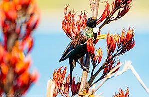 New Zealand Tui on flax canvas print A4  $55 - Shops - Graham Reichardt Photography