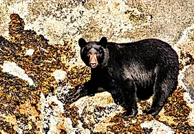 Black Bear Tracey Arm Fjord A3 print on canvas $75 - Shops - Graham Reichardt Photography