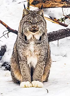 Lynx  from Haines Alaska  A3 canvas print $85 - Shops - Graham Reichardt Photography