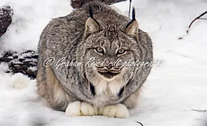 Lynx Haines Alaska. A3 canvas print  $85 - Shops - Graham Reichardt Photography