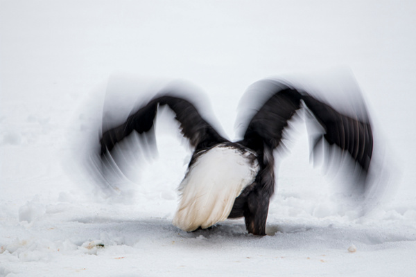 wing blur - Eagles - Graham Reichardt Photography