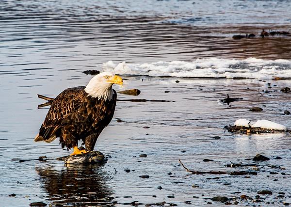 eagle on a fish - Eagles - Graham Reichardt Photography