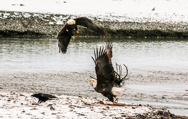 eagle-coming in to steal a fish - Eagles - Graham Reichardt Photography