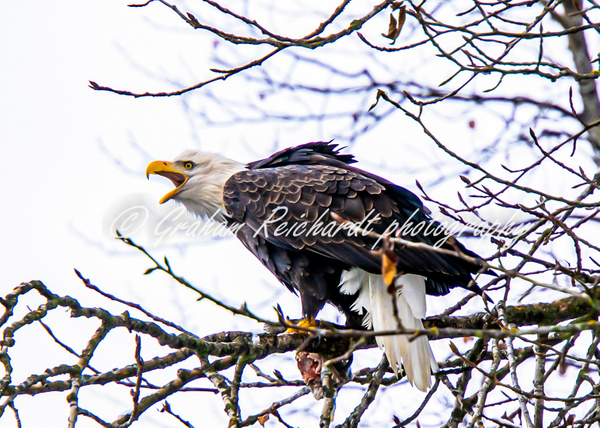eagle-3 - Eagles - Graham Reichardt Photography