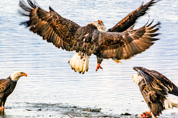 eagle- fight - Eagles - Graham Reichardt Photography