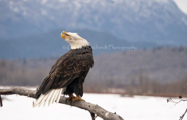 eagle laugh - Eagles - Graham Reichardt Photography