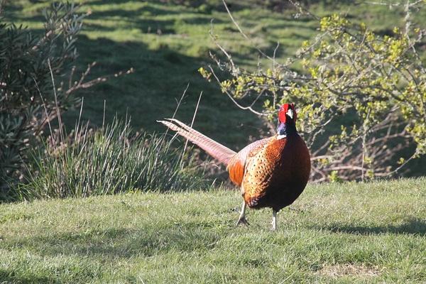 Chinese Ringneck Pheasant - NZ General - Graham Reichardt Photography