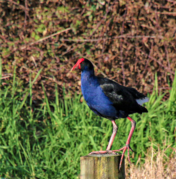 pukeko on post - NZ General - Graham Reichardt Photography
