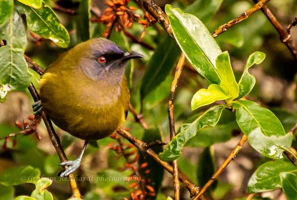 Bellbird - NZ General - Graham Reichardt Photography
