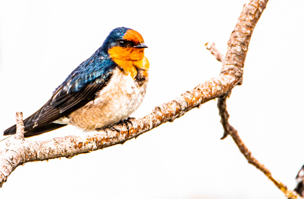 Welcome Swallow photographed at Sulphur Point Lake Rotorua (4 of 1) - NZ General - Graham Reichardt Photography