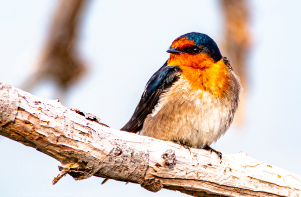 Welcome Swallow photographed at Sulphur Point Lake Rotorua (3 of 1) - NZ General - Graham Reichardt Photography