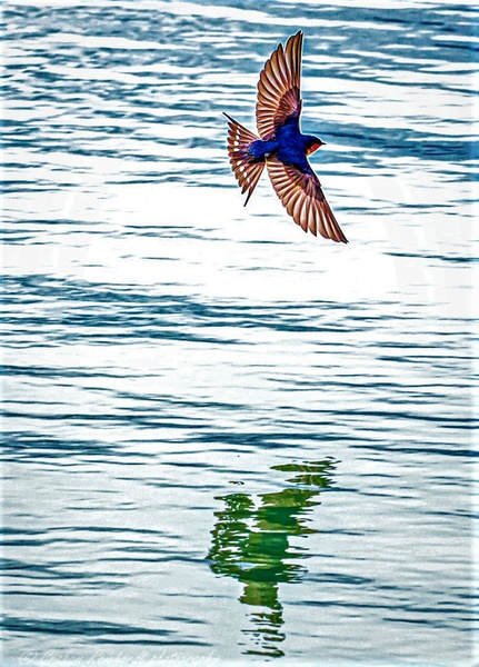 Welcome Swallow photographed at Sulphur Point Lake Rotorua (1 of 1) - NZ General - Graham Reichardt Photography